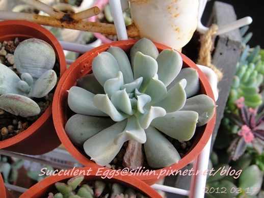 JP Auction Echeveria runyonii 'Topsy Turvy' 2