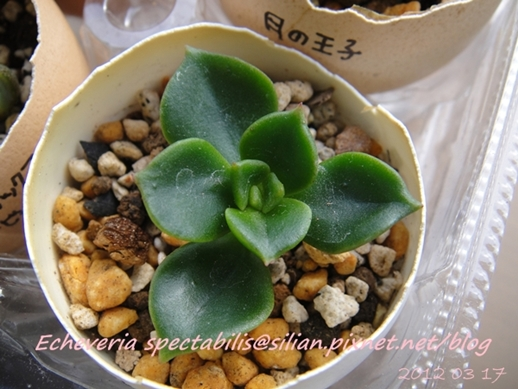JP Auction Echeveria spectabilis 1