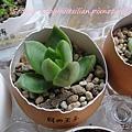 JP Auction Sedum adolphi 1