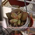 JP Auction Sedum adolphi 2