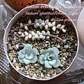 JP Auction Sedum brevifolium 'Quinquefarium' 1