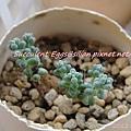 JP Auction Sedum brevifolium 'Quinquefarium' 2
