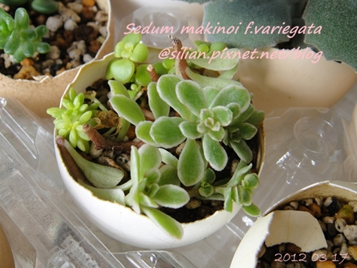 JP Auction Sedum makinoi f.variegata