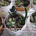 JP Auction Sedum sieboldii variegatum 1