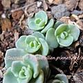 JP Auction Sedum sieboldii variegatum 2