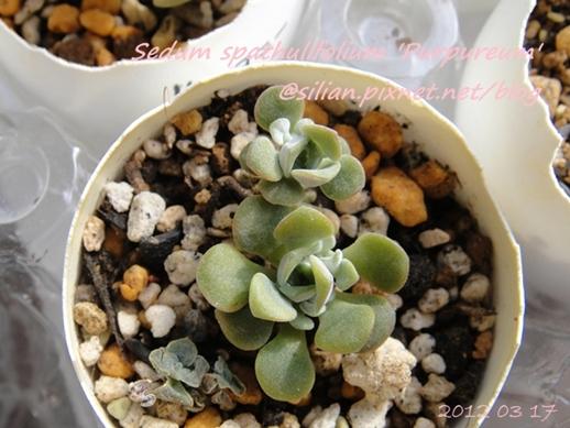 JP Auction Sedum spathulifolium 'Purpureum' 1