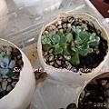 JP Auction Sedum spathulifolium 'Purpureum' 2
