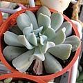Echeveria runyonii 'Topsy Turvy' / 特葉玉蝶 / トップスプレンダー