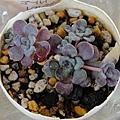 Sedum spathulifolium 'Purpureum' / スパスリフォリウム / 赤葉ミセバヤ
