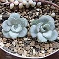 Sedum spathulifolium 'Cape Blanco' / ケープブランコ / 白雪みせばや
