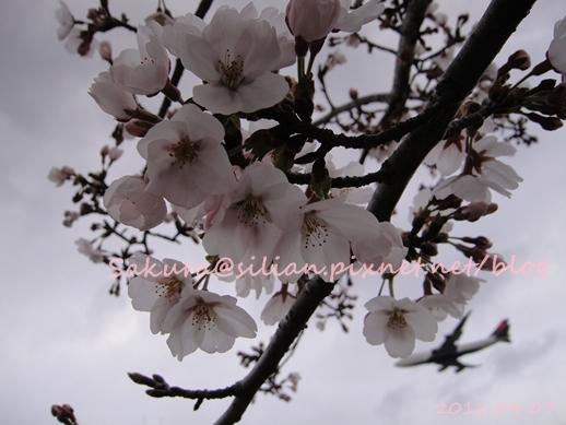 20120407 162902 Sakura