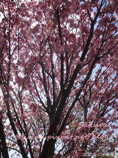 20120418 133658 Sakura