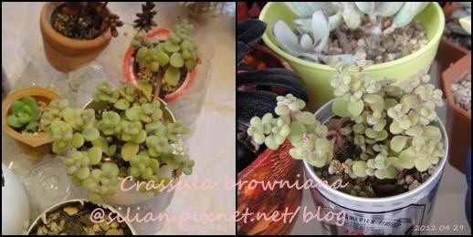 Crassula expansa subsp. Fragilis / Crassula browniana / ベキュリアリス / ペクリアリス / ブロウメアナ 春季整理