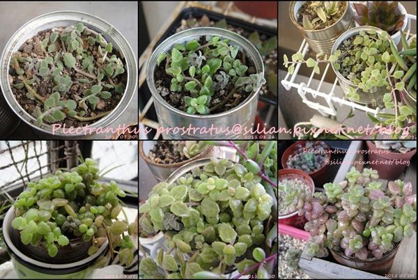 Plectranthus prostratus / 臥地延命草 / プロストラーツス