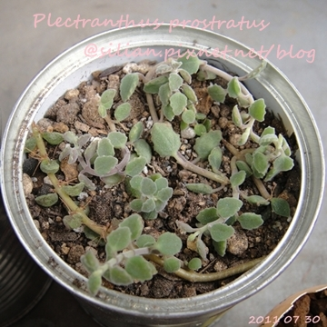 20110730 155103 Plectranthus prostratus / 臥地延命草 / プロストラーツス
