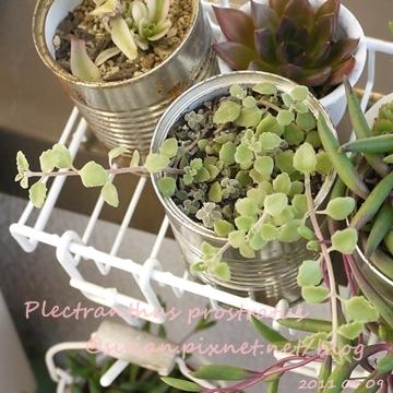20110909 163001 Plectranthus prostratus / 臥地延命草 / プロストラーツス