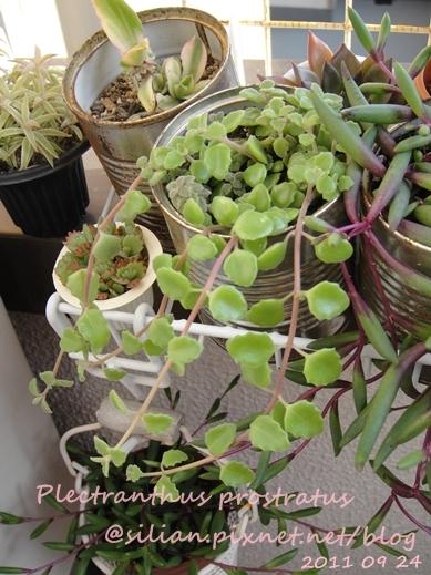 20110924 155442 Plectranthus prostratus / 臥地延命草 / プロストラーツス