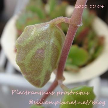 20111004 161032 Plectranthus prostratus / 臥地延命草 / プロストラーツス
