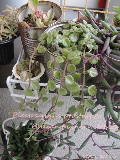 20111013 152742 Plectranthus prostratus / 臥地延命草 / プロストラーツス