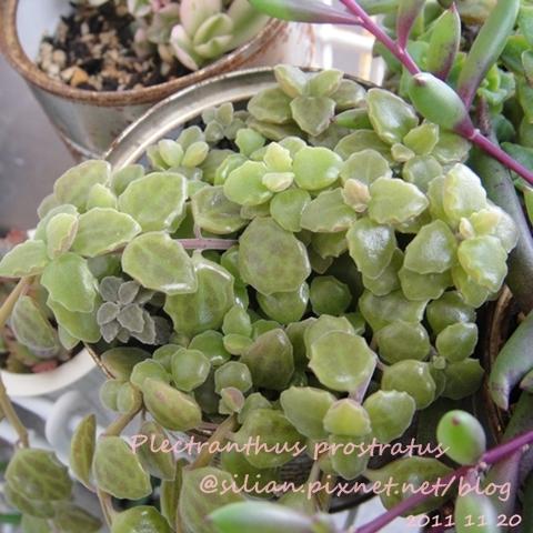 20111120 144343 Plectranthus prostratus / 臥地延命草 / プロストラーツス