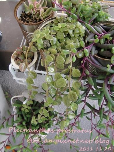 20111120 144351 Plectranthus prostratus / 臥地延命草 / プロストラーツス