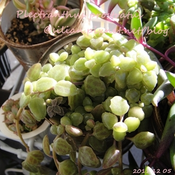 20111205 125822 Plectranthus prostratus / 臥地延命草 / プロストラーツス