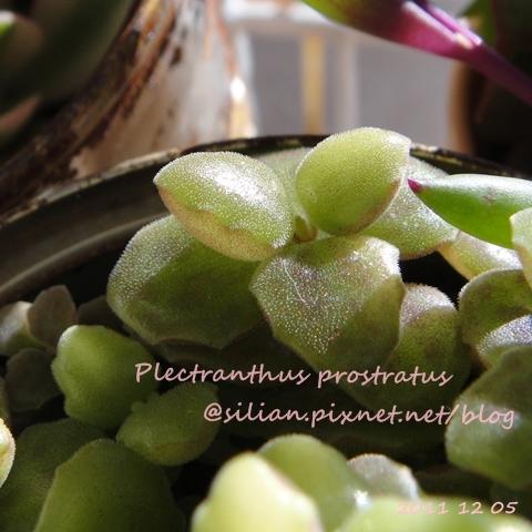 20111205 125857 Plectranthus prostratus / 臥地延命草 / プロストラーツス