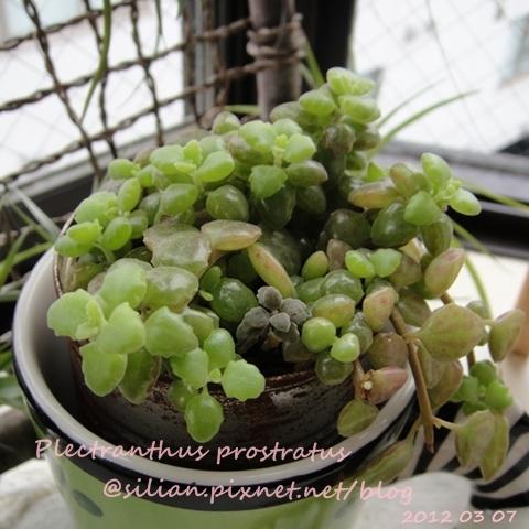 20120307 154044 Plectranthus prostratus / 臥地延命草 / プロストラーツス