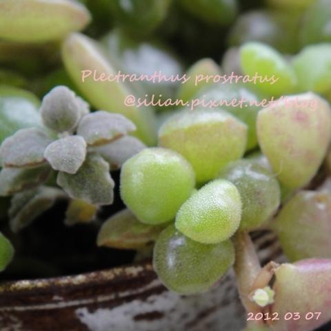 20120307 154109 Plectranthus prostratus / 臥地延命草 / プロストラーツス