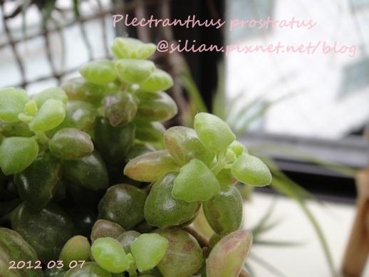 20120307 154117 Plectranthus prostratus / 臥地延命草 / プロストラーツス