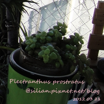 20120321 155052 Plectranthus prostratus / 臥地延命草 / プロストラーツス