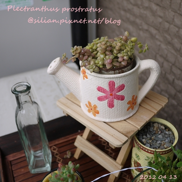 20120413 155602 Plectranthus prostratus / 臥地延命草 / プロストラーツス