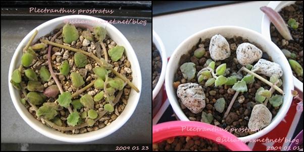 20090123 Plectranthus prostratus / 臥地延命草 / プロストラーツス