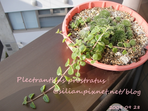 20090928 DSC05210 Plectranthus prostratus / 臥地延命草 / プロストラーツス