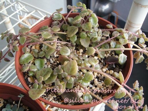 20091106 回台前的陽台 Plectranthus prostratus / 臥地延命草 / プロストラーツス