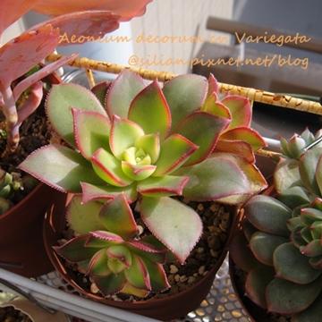 Aeonium decorum cv. Variegata /夕映