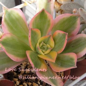Aeonium urbicum cv. Variegatum / 曝日 / サンバースト