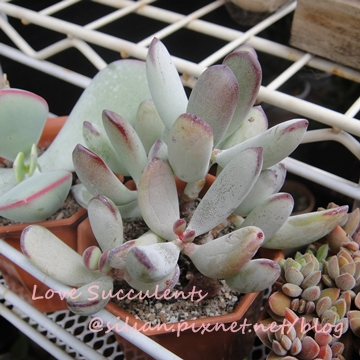 Cotyledon orbiculata var. oophylla / 福娘 / オフェリア
