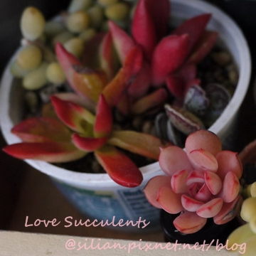 Crassula fusca & Echeveria cv. Victor / 赤鬼城 & 紅化粧