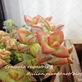 Crassula rupestris f. / 愛星