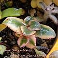 Crassula sarmentosa f. variegata / 長莖景天錦 / 錦乙女 / サルメントーサ
