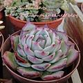 Echeveria chihuahuaensis / 吉娃娃 / 吉娃蓮 / チワワエンシス