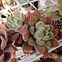 Echeveria cv. Bombycina / 白閃冠 / ボンビシナ
