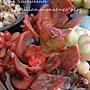 Echeveria cv. Lipstick / リップスティック