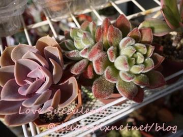 Echeveria cv. PERLE VON NURNBERG / 紐倫堡珍珠 / パールフォンニュルンブルグ