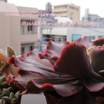 Echeveria cv. Takasagonookina / 高砂之翁 / 高砂の翁