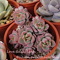 Echeveria cv. Victor / 紅化粧