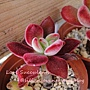 Echeveria harmsii / 花之司 / 花の司 / ハムシー