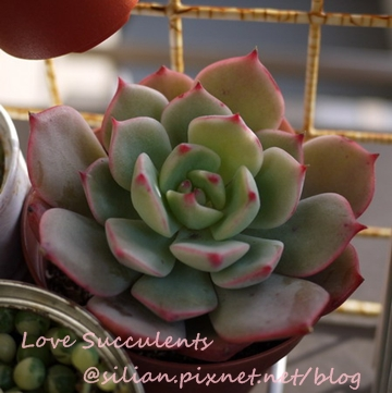 Echeveria 'kircheriana' / キルヒネア