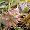 Echeveria macdougallii / 紅稚兒 / 紅稚児
